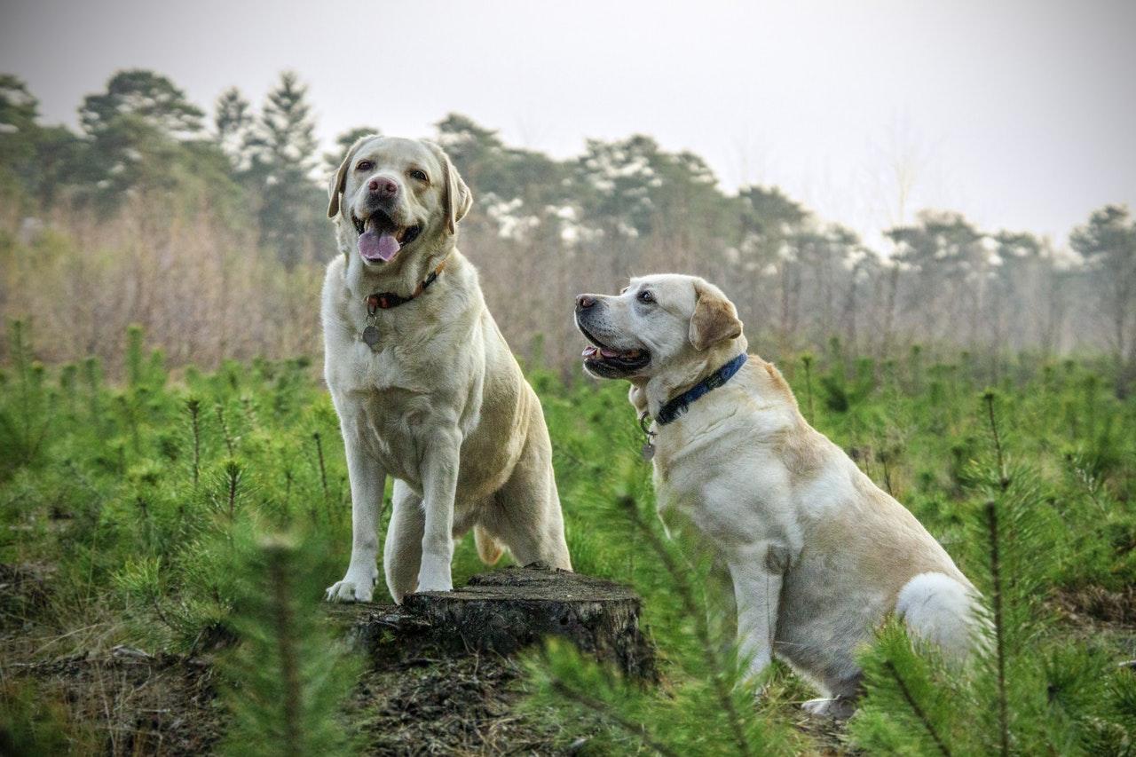 Labradorer är vanliga ledarhundar